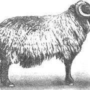 Овцы племенные, грубошерстных пород фото