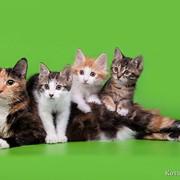 Kuril Bobtail kittens фото