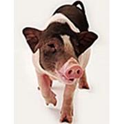 Добавки кормовые КТ 10-30 для поросят 10-30 кг., 25%, Украина. ., КТ 30-60 для свиней 30-60 кг., 15%, Украина. .КТ 60-110 для свиней от 60 кг., 10%, Украина.., КТ 20 лакто для подсос. свиноматок 10-30 кг., 20%, Украина. фото