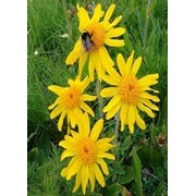 Цветок арники горной фото