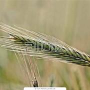 Пшеница фуражная 5 класс фото