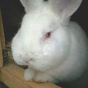 Кролики мясных пород чистокровные питомник фото