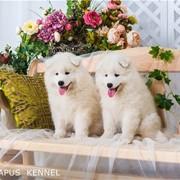 Щенки самоедской собаки шоу-класса фото