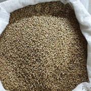 Зерно пшеницы на Сибирском тракте фото