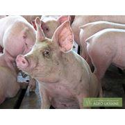 Продажа свиней живым весом. фото