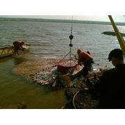 Воспроизводство рыбы фото