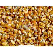 Кукуруза. Кукуруза семейства Злаки. Зерновые бобовые и крупяные культуры фото