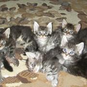 Коты с родословной фото