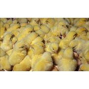 Оказываем услуги по перевозке птицы как по Украине так и по странам Евросоюза и СНГ. Суточный молодняк цыплят до 25 000 тш. утка до 15 000 шт. Имеем все необходимые документы. фото