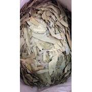Эвкалипт (лист) фото
