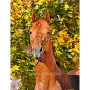 Спортивный конь Пламенеющий фото