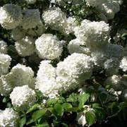 Гортензия, цветы для дома и сада фото