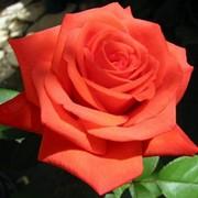 Отдушка Роза фото