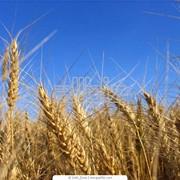 Выращивание зерновых культур фото