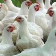 Цыплята бройлеров фото