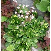"Камнеломка тенистая (Saxifraga urbium) ""Variegata"" фото"