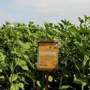 Семена подсолнечника гибрид РОНА от производителя. фото