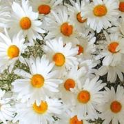 Цветы ромашки фото
