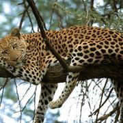 Охота на леопарда с собаками в Намибии фото