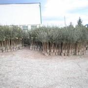 Саженцы деревьев в Молдове фото