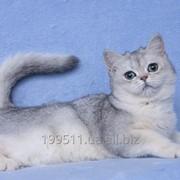 Котёнок британский короткошерстный, окрас серебристый тиккированный фото