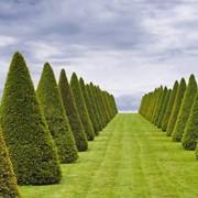 Обрезка колоновидных деревьев фото