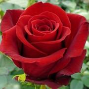Розы 90 см фото