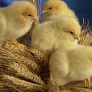 суточные цыплята за зерно фото