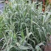 Семена Двукисточника тростникового фото