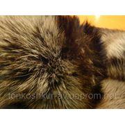 Песец крашеный с коричневой полосой фото
