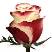 Роза Свитнес. фото
