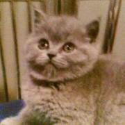 Британские котята Профф.разведения от лучших производителей из питомников Европы. фото