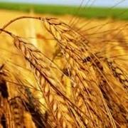 Пшеница гибридная фото