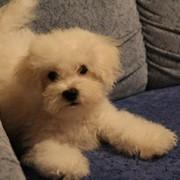 Продам щенка Бишон Фризе фото
