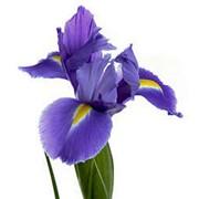 Цветы Ирис фото