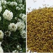 Семена клевер белый купить. фото
