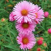 "Астра новоанглийская (Aster novae-angliae) ""Harrington s Pink"" фото"