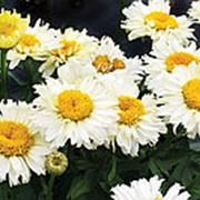 Ромашка Бридал Букет (Leucanthemum 'Bridal Bouquet') фото