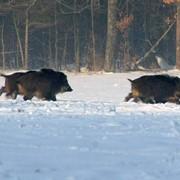 Загонщики на кабанов - помощники окладчика на облавной охоте, которые окружают определенный участок леса, уже обойденного окладчиком фото