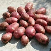 Сорт картофеля Альвара фото