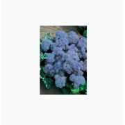 Семена Агератум Голубая норка фото