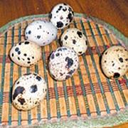 Яйця перепелині фото