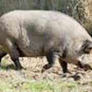 Свиньи вьетнамские вислобрюхие фото