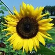 Семена подсолнечника ЕС Муза фото