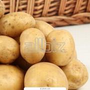 Картофель от 20 тонн. фото