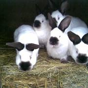 Мясные кролики Калифорнийской породы фото