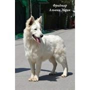 Щенки Белой Швейцарской Овчарки в Алматы фото