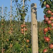 Яблоки из Белоруссии фото