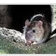 Уничтожение крыс в Киеве и Украине фото