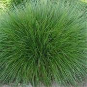 Семена овсяницы луговой фото